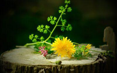 Heilkraft und Schönheit durch wilde Pflanzen!