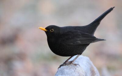 Challenge 11: Vögel im eigenen Garten und in der Natur identifizieren